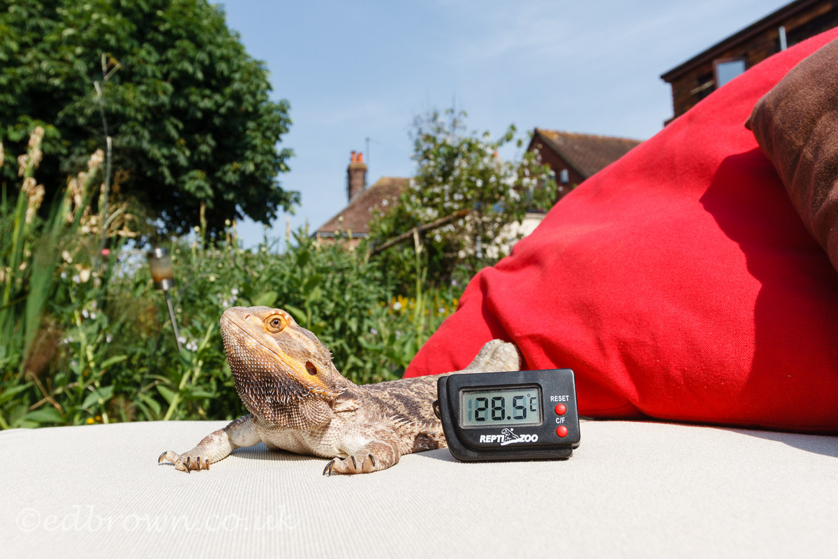 Hailsham,UK.21st Jun 2017.UK weather.Fenster the bearded dragon enjoys basking in the sun this morning as temperatures reach into the high 20s. Thermometer probe was placed in the shade giving more accurate temperature readings. Hailsham,East Sussex,UK