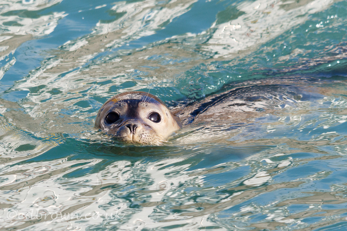 Eastbourne, UK. 4th Dec 2017. UK weather. A Common seal (Phoca vitulina) swims around Sovereign Harbour in Eastbourne on a sunny morning in East Sussex, UK
