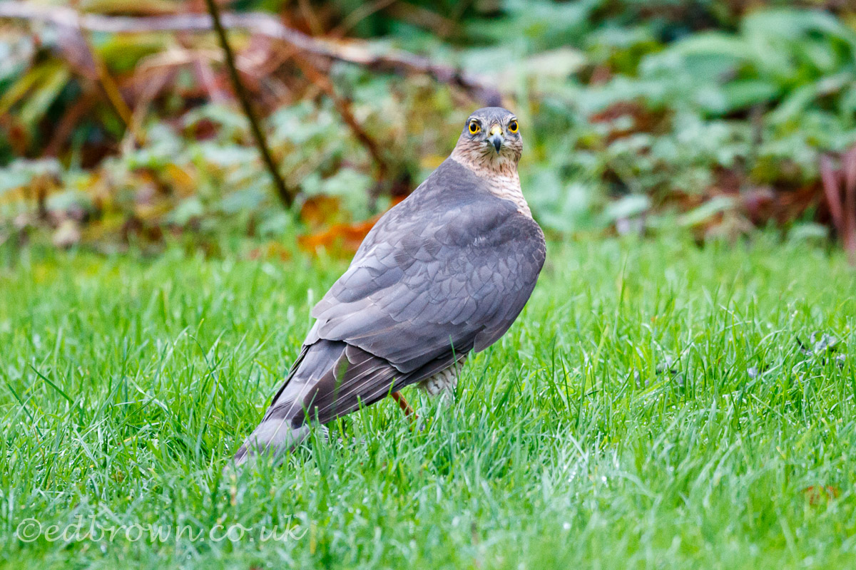 Sparrowhawk, East Sussex