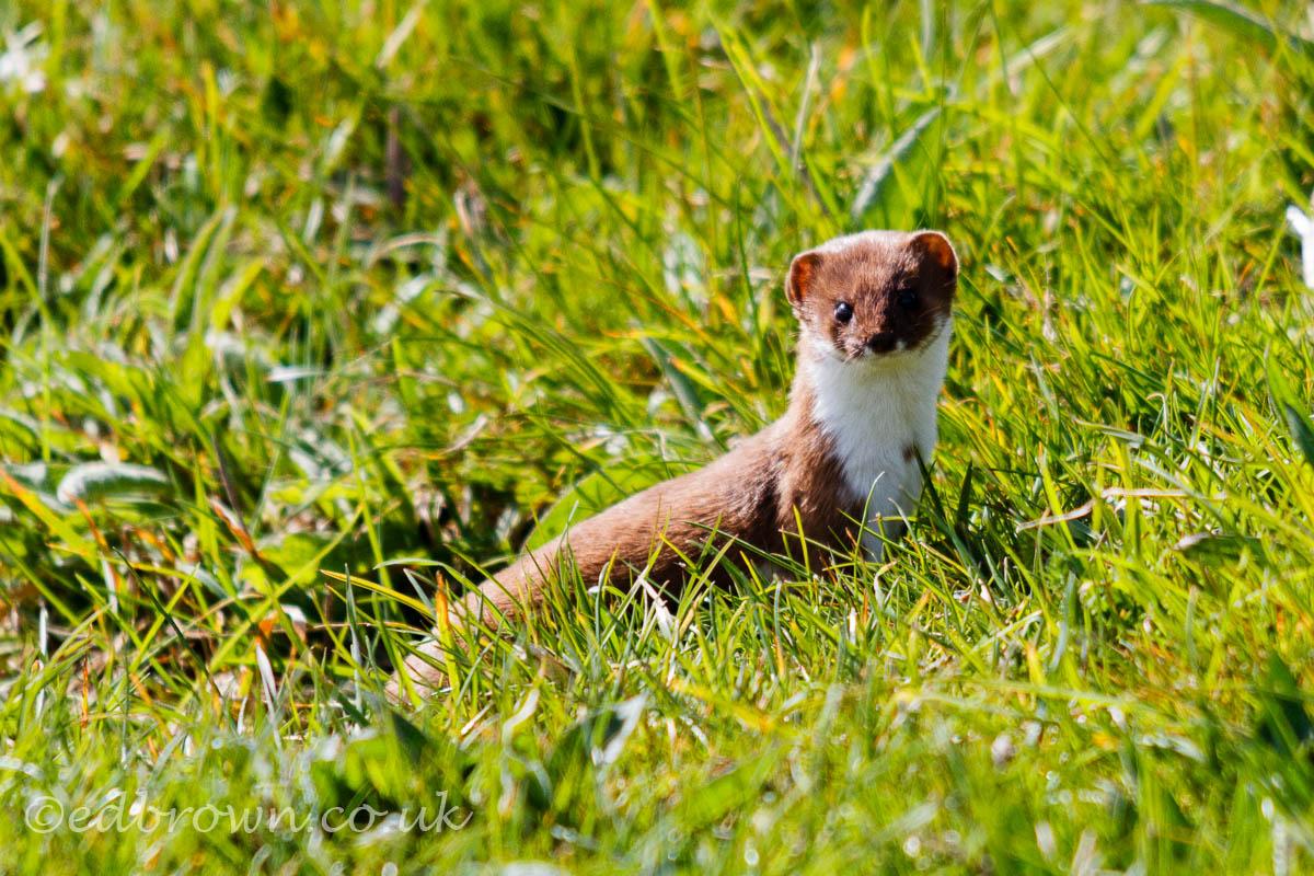 Weasel, Mustela nivalis