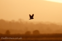Pevensey Levels.2nd January 2017.UK weather. A Short eared owl (Asio flammeus) hunts in the evening light over the Pevensey Levels in East Sussex, UK
