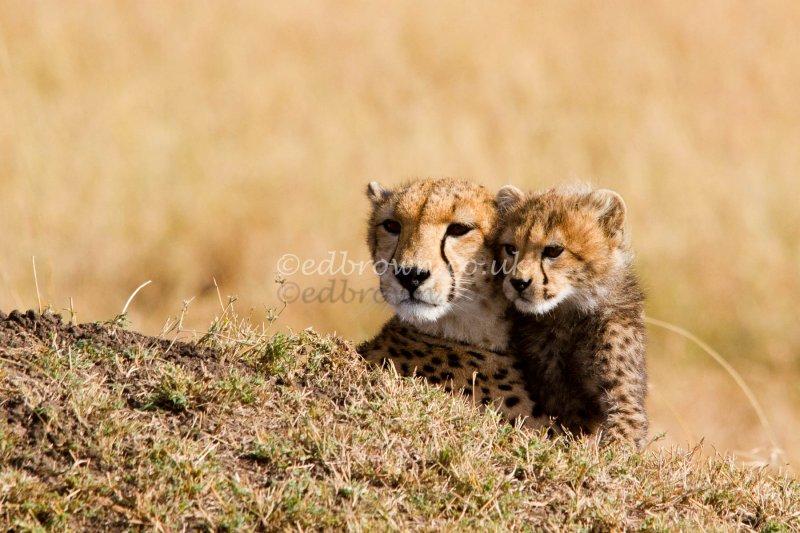 A female cheetah and her cub keep a look out, Masai Mara, Kenya, Africa