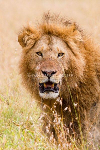 Portrait of a male lion (Panthera leo) Masai Mara, Kenya