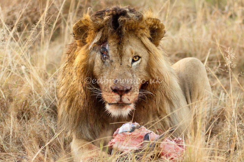 Male lion eating, Masai Mara, Kenya