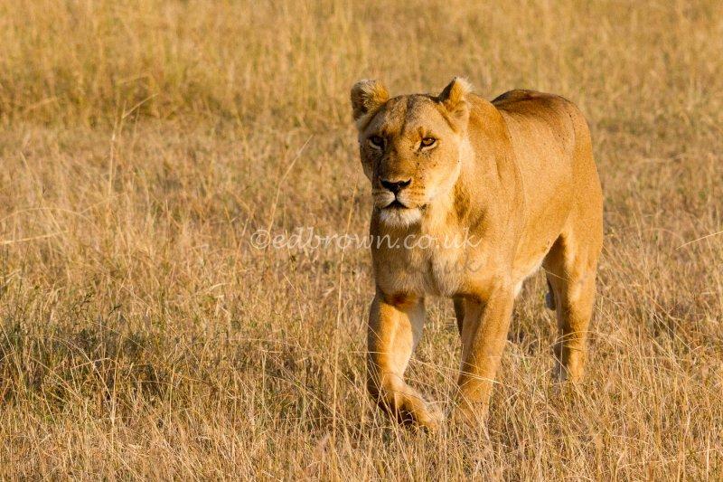 Lioness (Panthera leo) Masai Mara, Kenya, Africa
