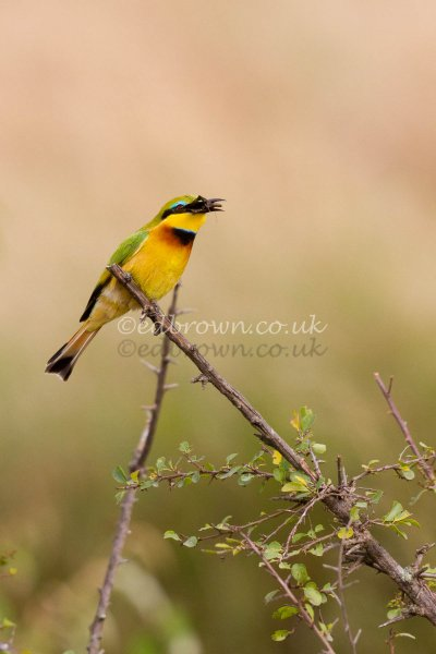 Little Bee-eater (Merops pusillus) perched on a stick eating a moth, Masai Mara, Kenya, Africa