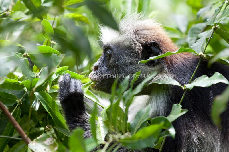 Zanzibar red colobus monkey (Procolobus kirkii) eating, Jozani National Park, Zanzibar, East Africa