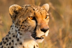 Cheetah (Acinonyx jubatus) Masai Mara, Kenya, Africa