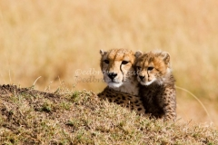 A female cheetah and her cub keep a look out, Masai Mara, Kenya, Africa
