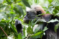 Zanzibar red colobus monkey (Procolobus kirkii) eating, Jozani National Park, Zanzibar, East Africa