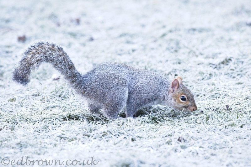 Grey_squirrel_frost