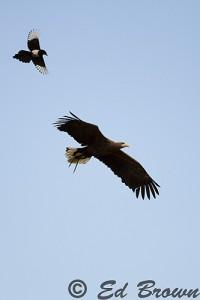 White tailed sea eagle & magpie
