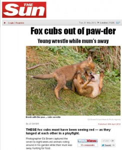 Fox cubs play fighting