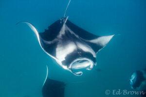 Manta rays - Maldives