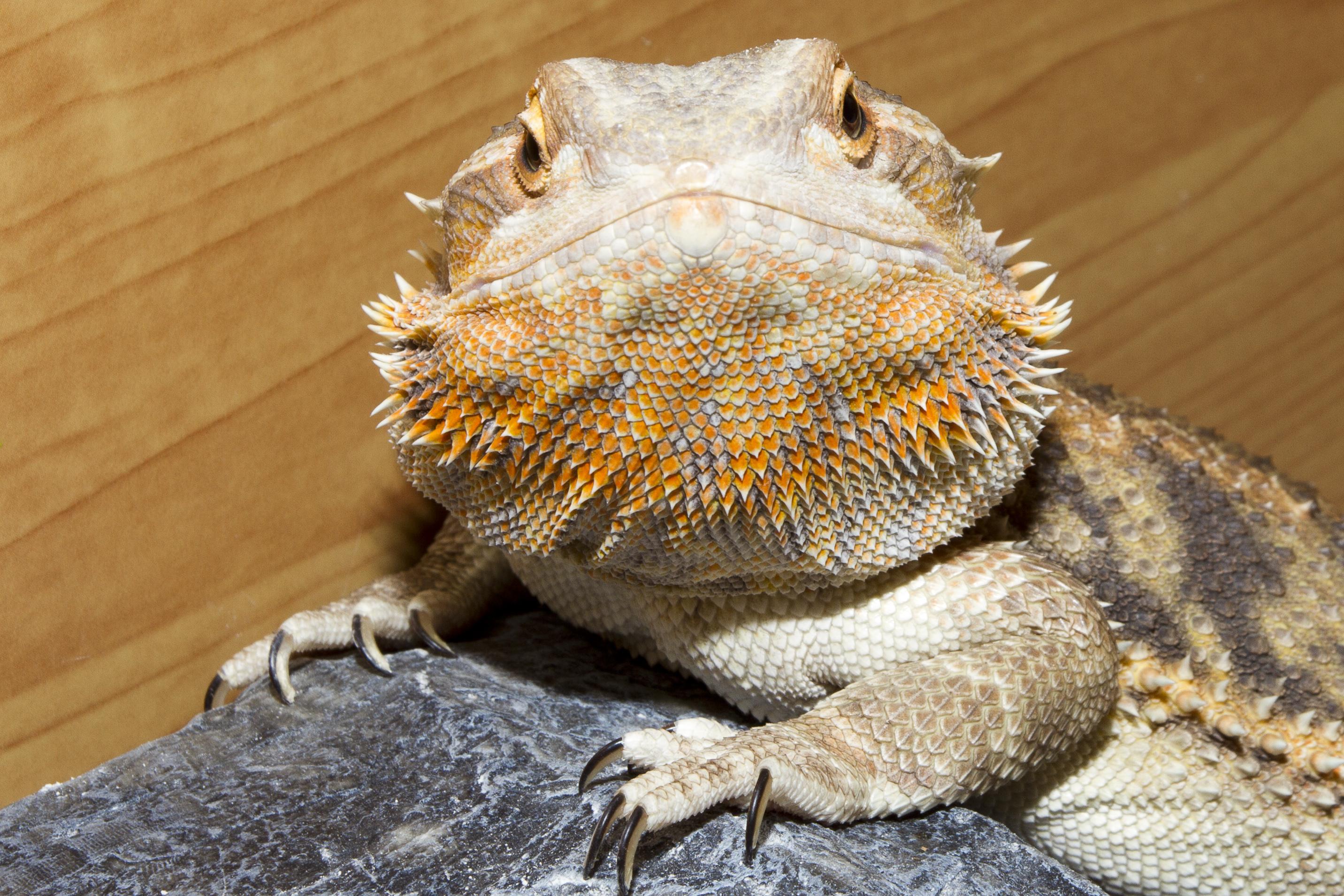 how to build a bearded dragon vivarium