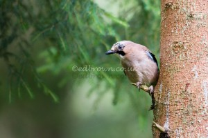 Jay (Garrulus glandarius) Scotland, UK