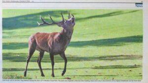 Red Deer Stag Bellowing, Windsor, UK