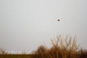 Kingfisher, Staines Moor, Surrey