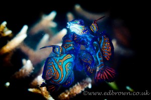 Mandarin fish fighting by Ed Brown