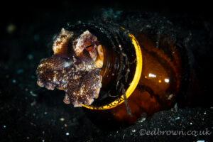 Coconut octopus (Amphioctopus marginatus) Lembeh Strait, Indonesia