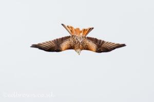 Red Kite (Milvus milvus) © www.edbrown.co.uk