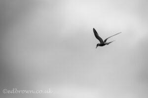 Common tern (Sterna hirundo) Staines Moor, Surrey. © www.edbrown.co.uk