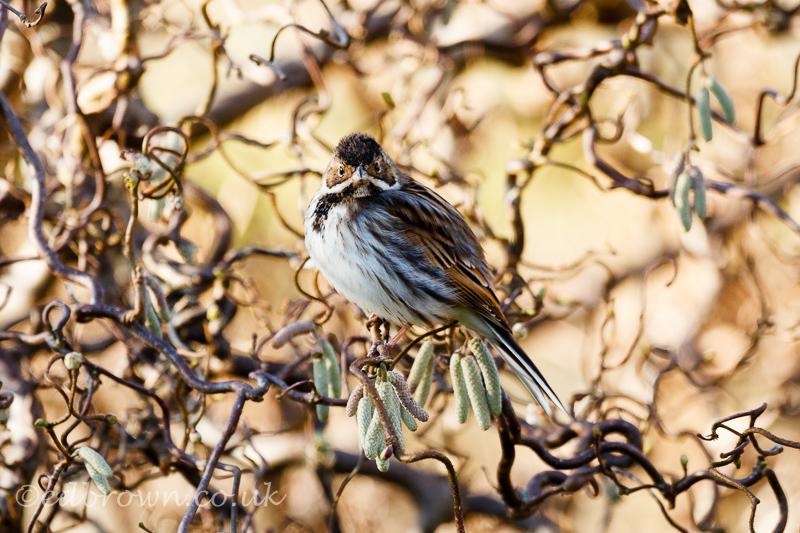 Reed bunting (Emberiza schoeniclus) East Sussex, England, UK