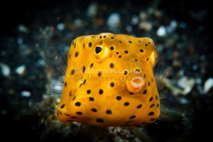 Boxfish, Lembeh Strait, Indonesia