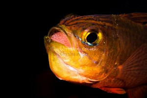 Male cardinal fish incubating eggs in mouth, Lembeh Strait, Indonesia