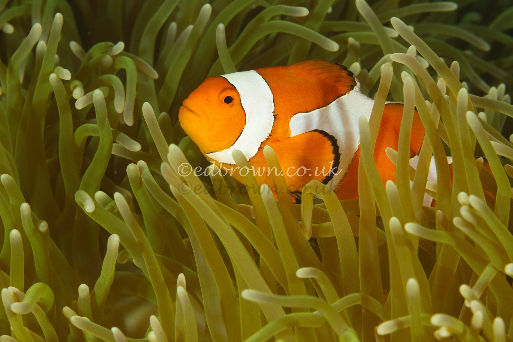 Common clownfish (Amphiprion ocellaris)