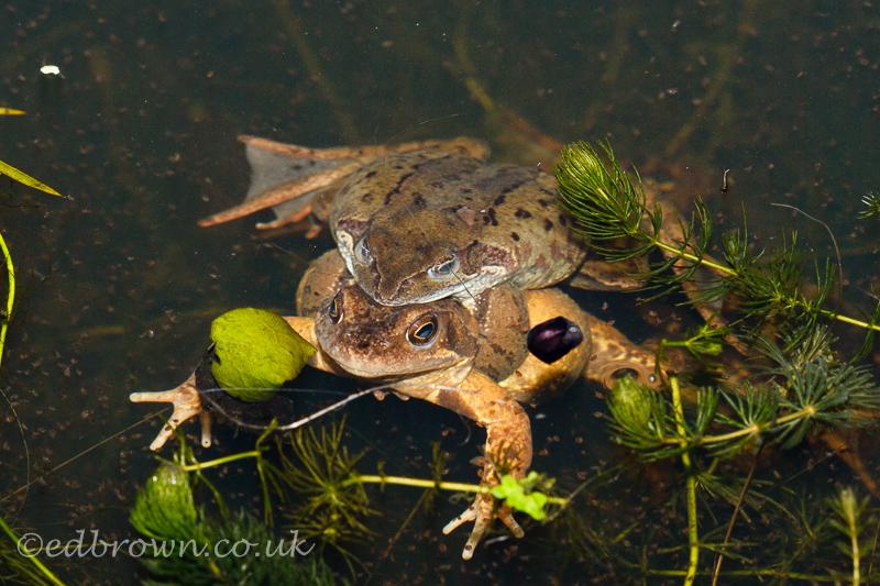 Mating frogs, Hailsham, East Sussex, UK