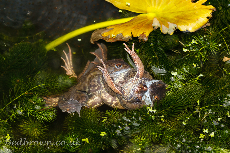 Mating frogs, Hailsham, East Sussex, UK