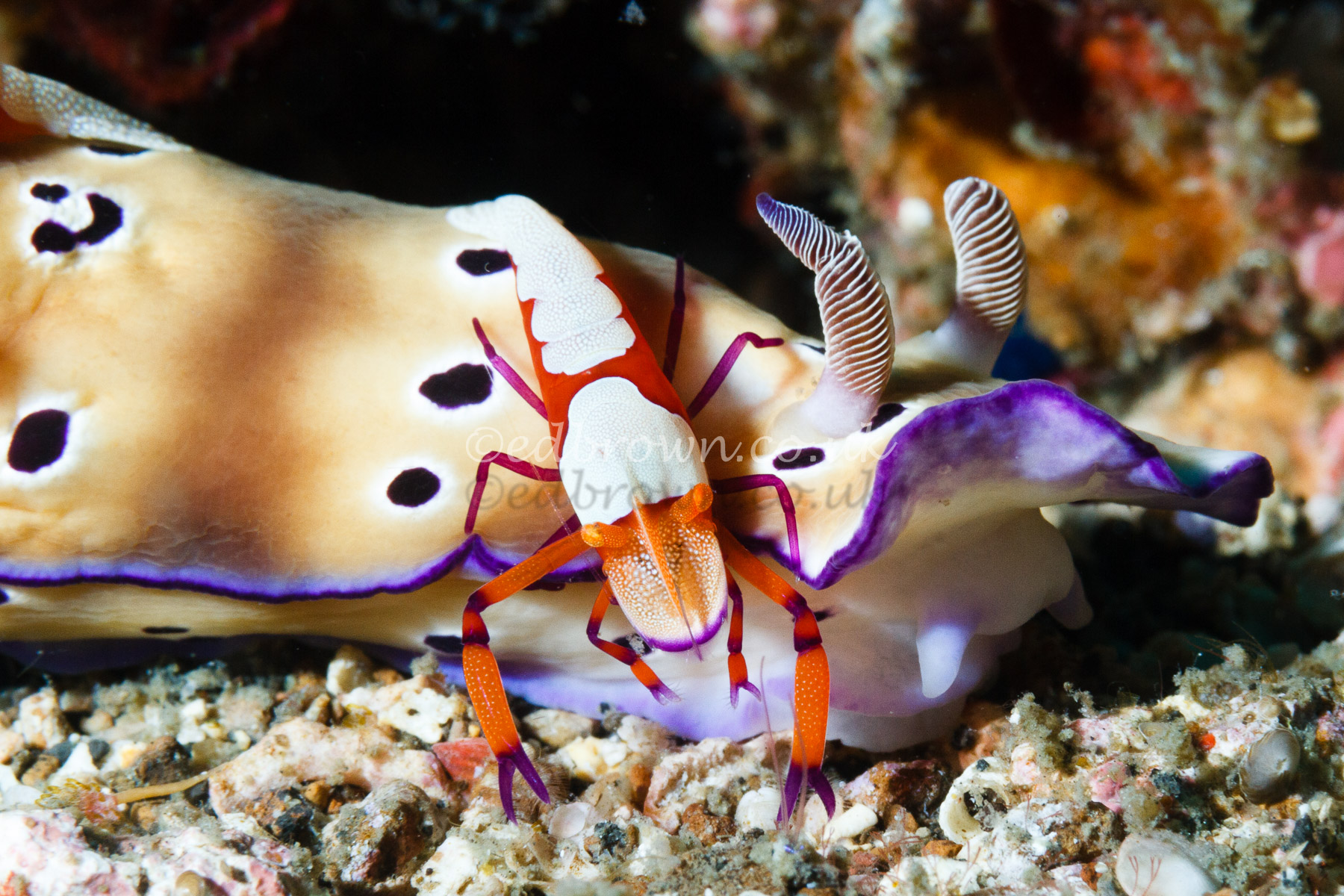 Emperor shrimp (Zenopontonia rex/ Periclimenes imperator) on Hypselodoris tryoni nudibranch