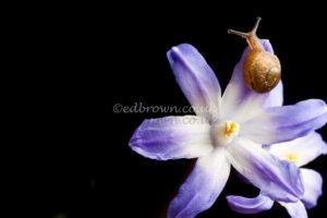Helix aspersa, baby garden snail, studio lit, England, UK