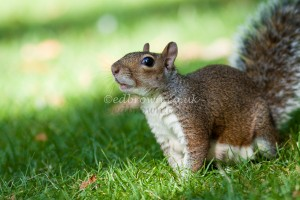 Grey (gray) squirrel, Sciurus carolinensis