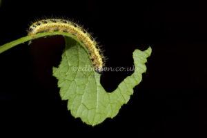 Caterpillar - Pieris brassicae