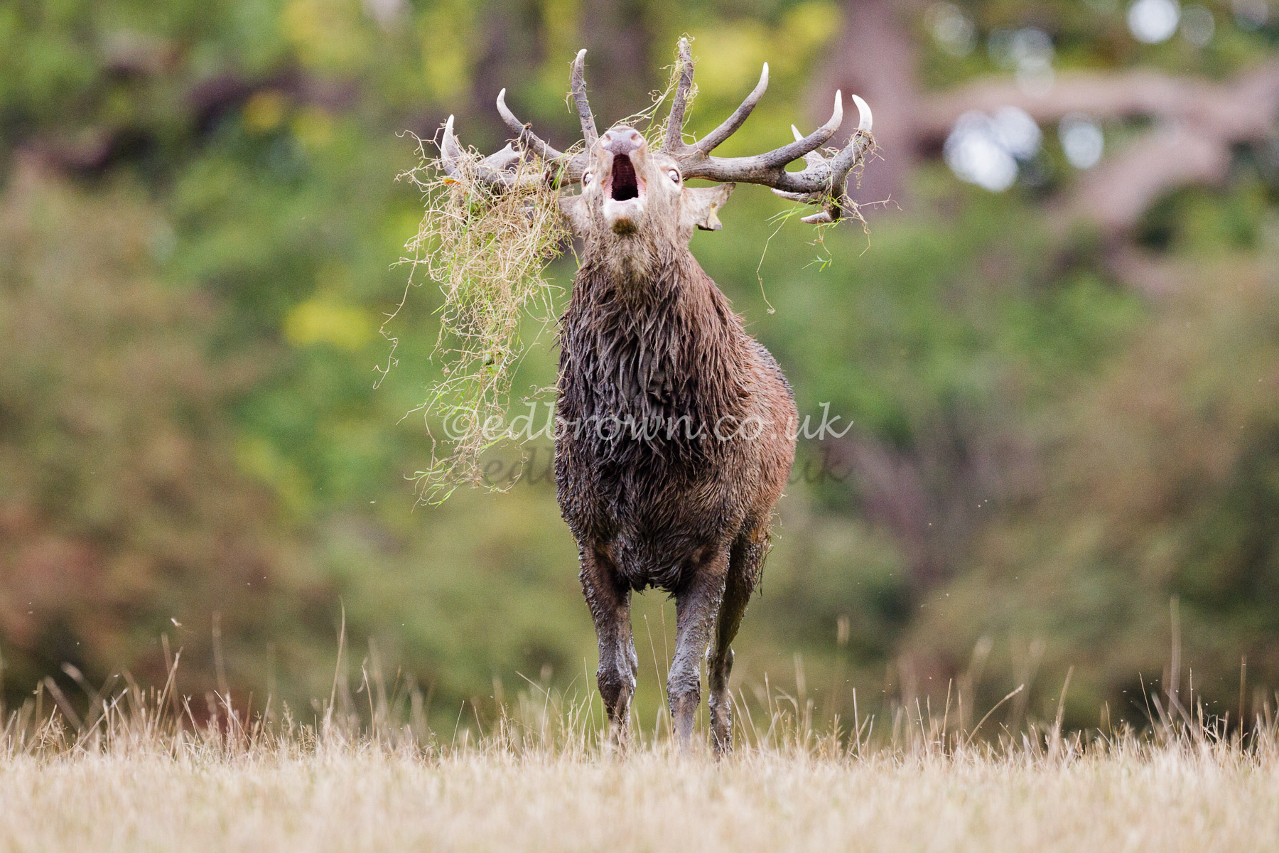A Red Deer (Cervus elaphus) stag in Windsor Great Park, antlers covered with grass, bellowing during the annual rut. Berkshire, UK
