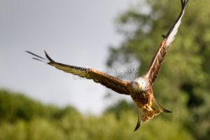 Red Kite (Milvus milvus) flying over trees Wales, UK