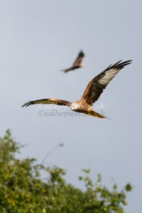 Red Kites (Milvus milvus) Wales, UK