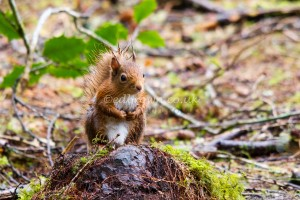 Red squirrel - Sciurus vulgaris