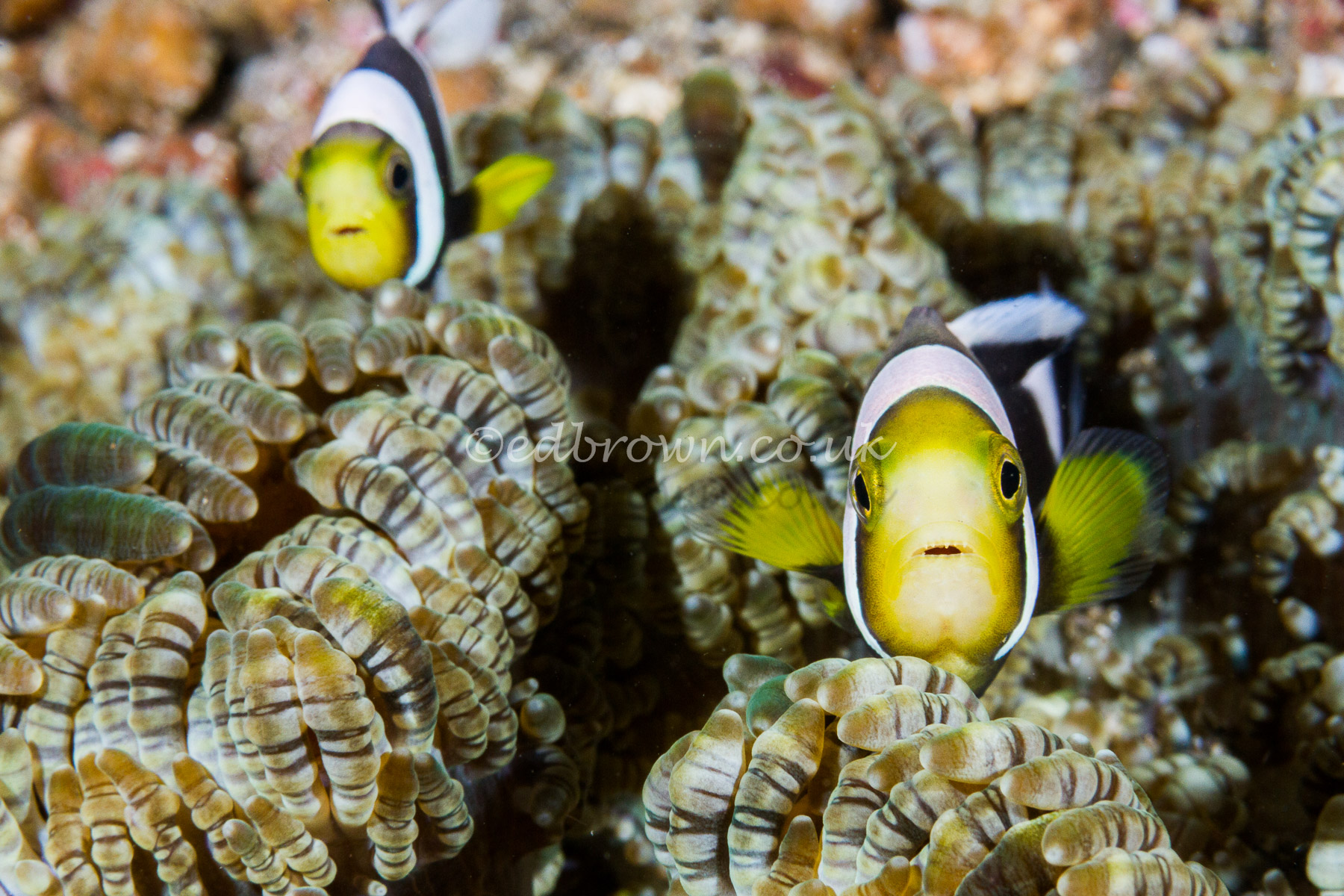 Saddleback clownfish (Amphiprion polymnus)