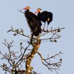Storms stork (Ciconia stormi)