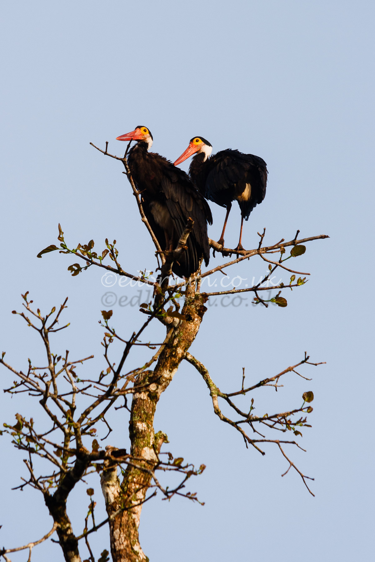 Storms stork (Ciconia stormi)