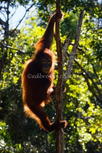 Young Orangutan, Borneo