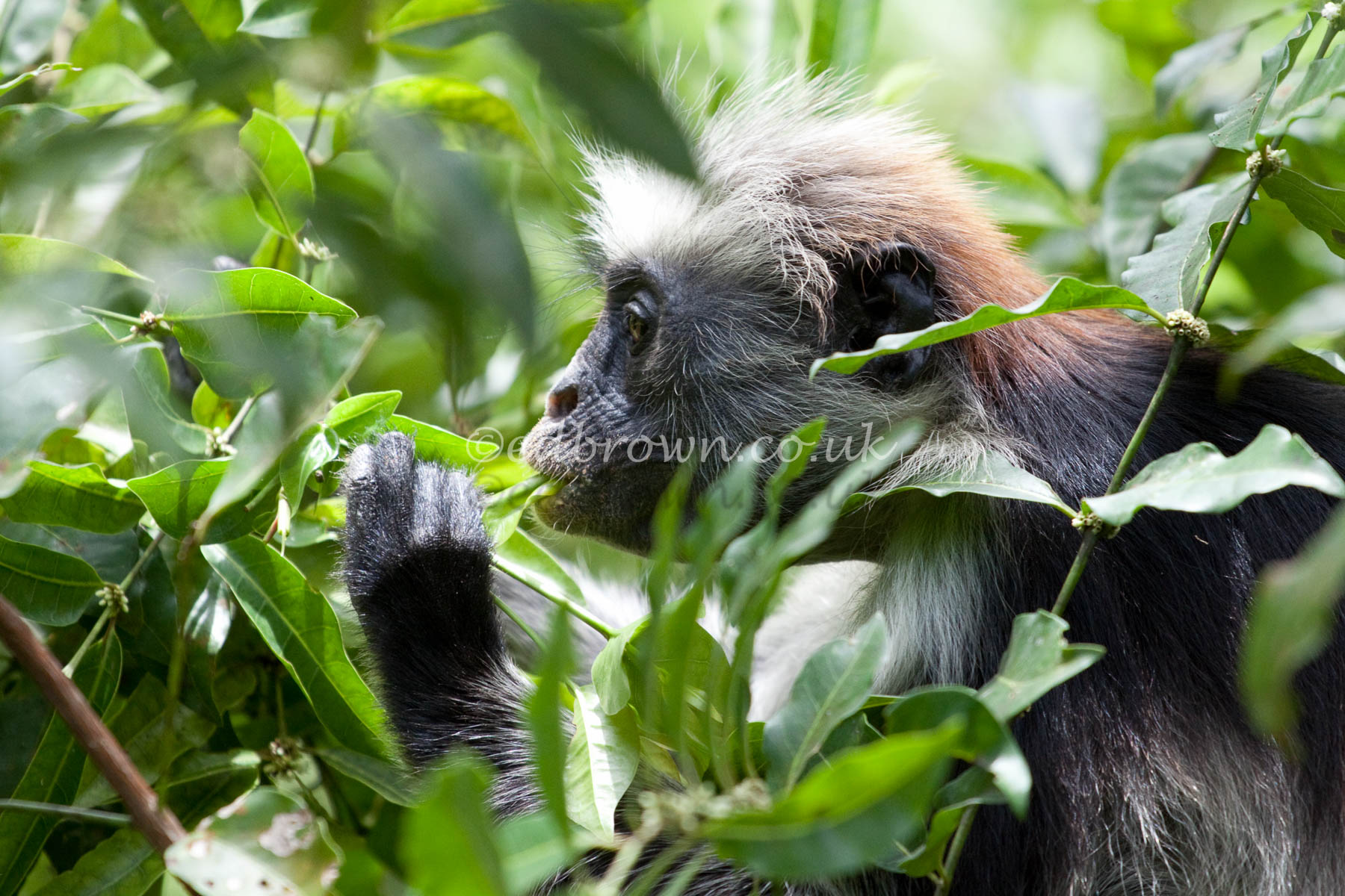 Zanzibar red colobus monkey (Procolobus kirkii)
