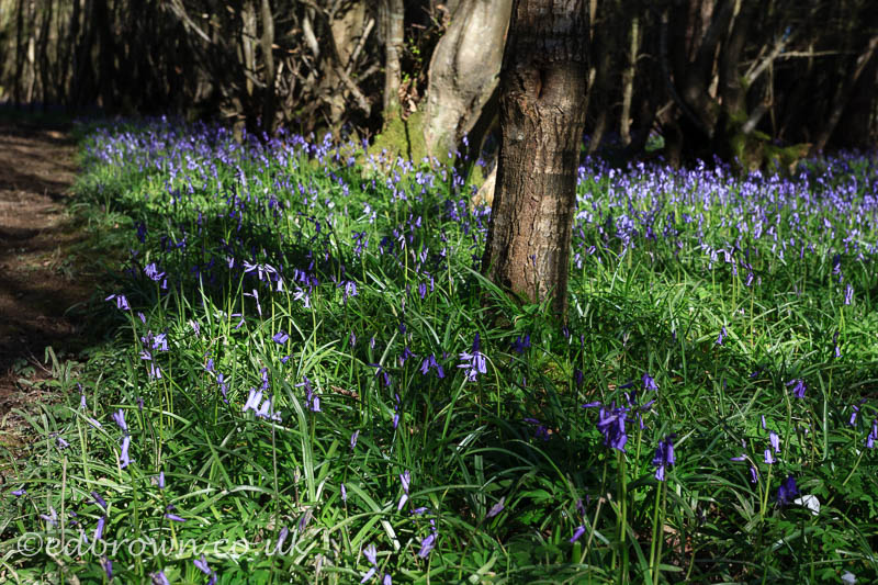 Bluebells out in force on a fine morning in Abbots Wood,East Sussex,UK
