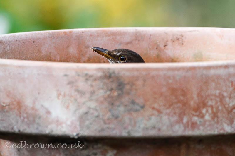 Blackbird in a flower pot