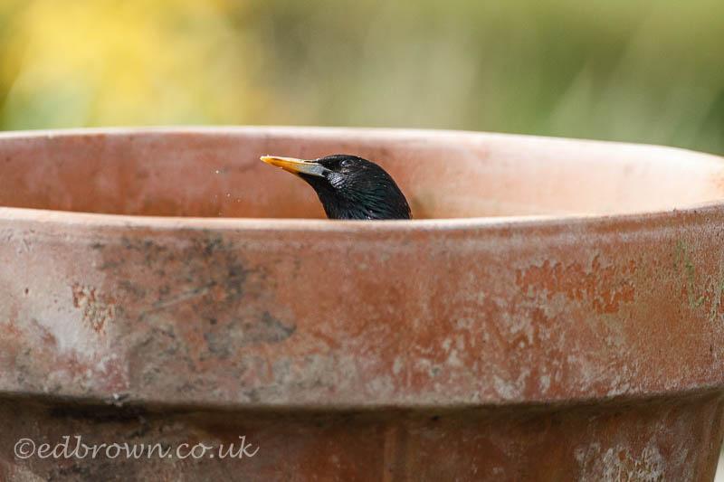 Starling in a flowerpot