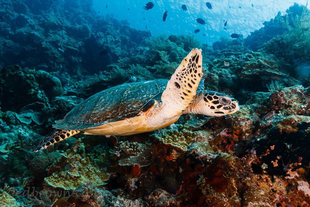 Hawksbill turtle, Bunaken marine park, Sulawesi, Indonesia. © www.edbrown.co.uk