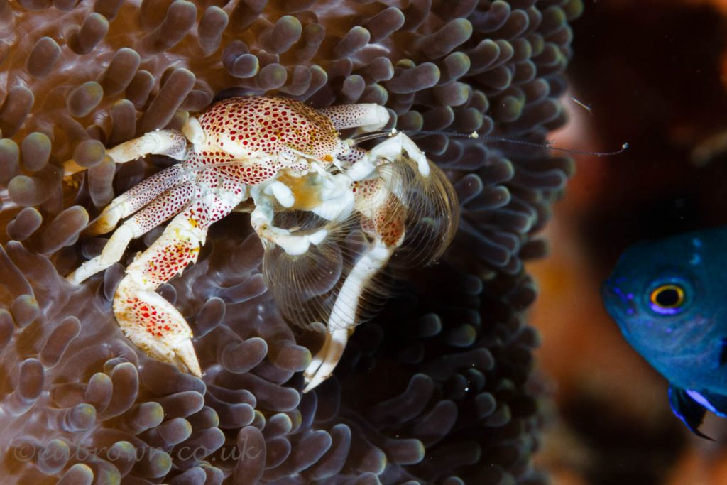 Porcelain crab, Bunaken marine park, Sulawesi, Indonesia. © www.edbrown.co.uk